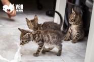 Danger és un gat en adopció a Santa Coloma de Gramenet - Barcelona
