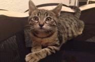 Danger és un gat en adopció de Veu Animal - Santa Coloma de Gramenet
