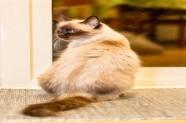 Dita és una gata en adopció a Santa Coloma de Gramenet