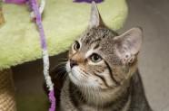 Mau es un gatito en adopción de Veu Animal