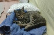 Gato de cuatro meses rescatado en zona Torre Valldobina